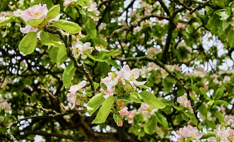 Apple tree at Lowfield in the Lake District